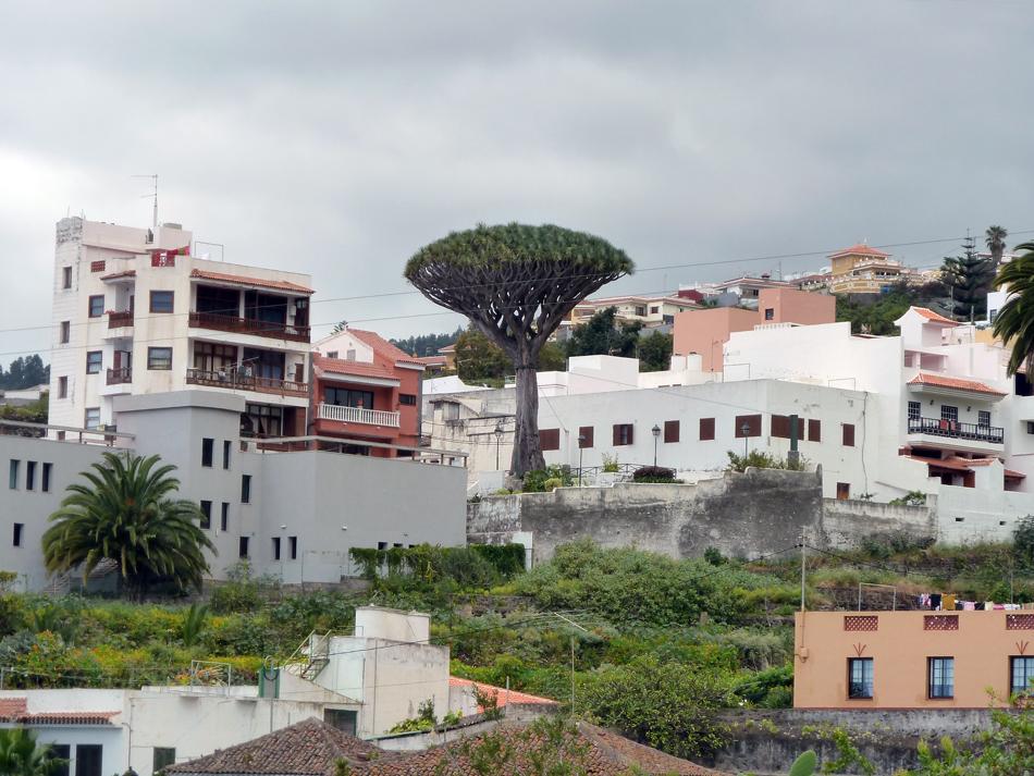 Drago - Icod de Los Vinos - Tenerife