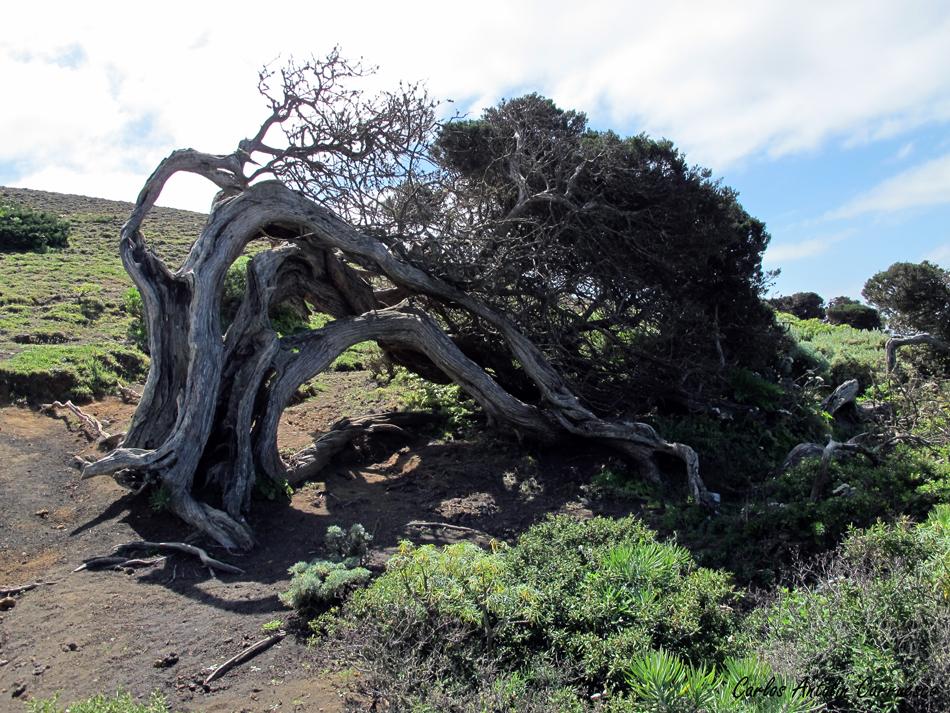La Dehesa - sabinas - El Hierro
