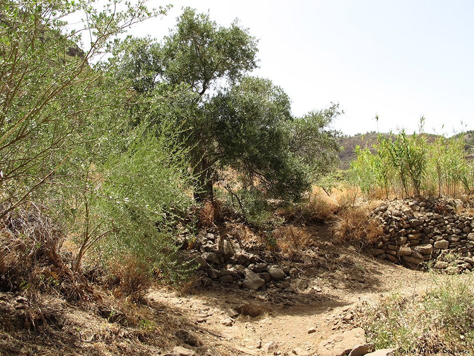 Cruce del Olivo - Lereta - Barranco de Guayadeque