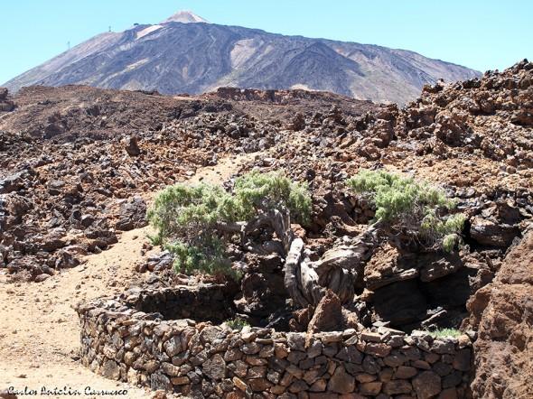 El Patriarca del Teide - Teide