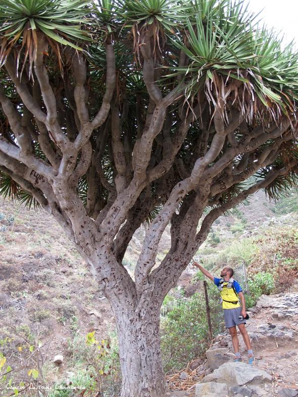 Anaga - El Draguillo - Tenerife - drago