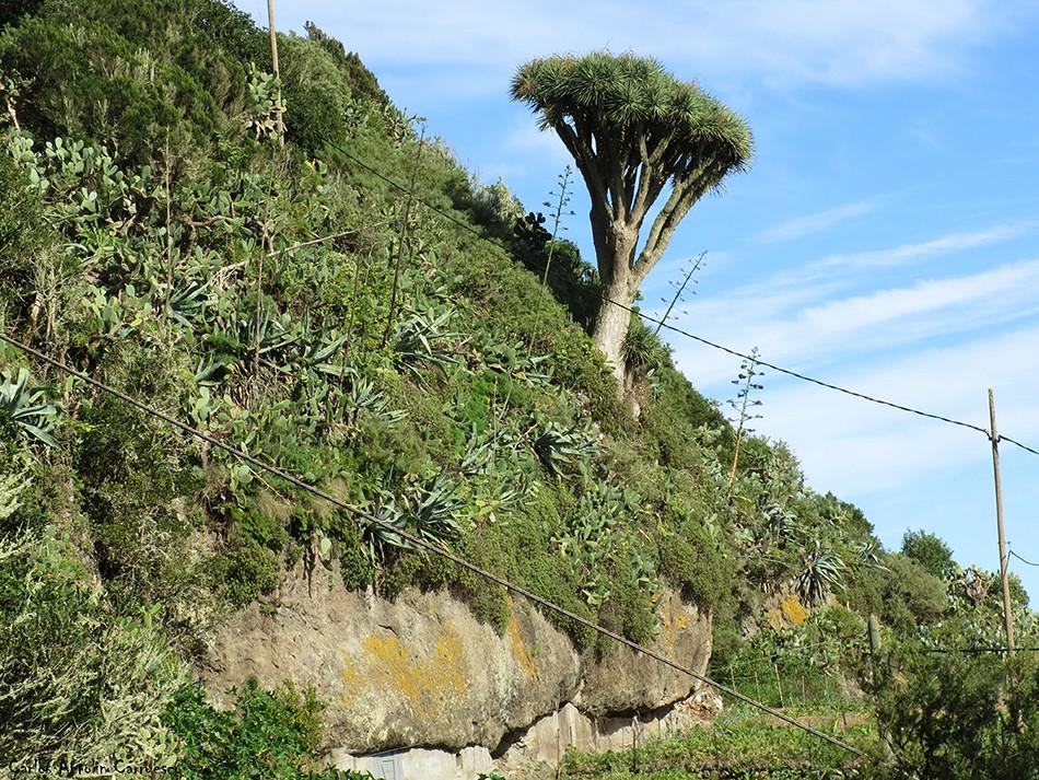 Lomo de Las Bodegas - Anaga - Tenerife - drago