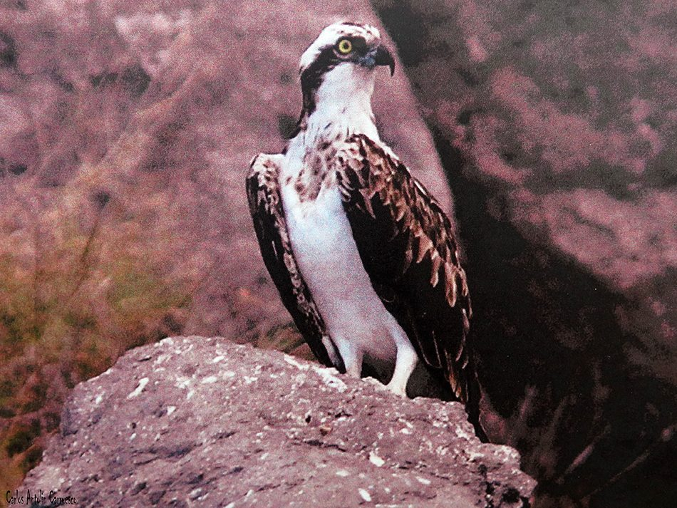 Águila Pescadora - Teno - Tenerife