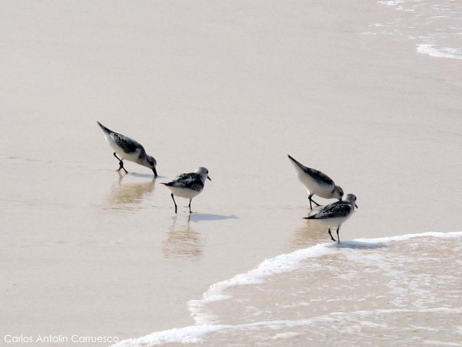 Correlimos Zarapitin - Playa de las Conchas - La Graciosa - Lanzarote