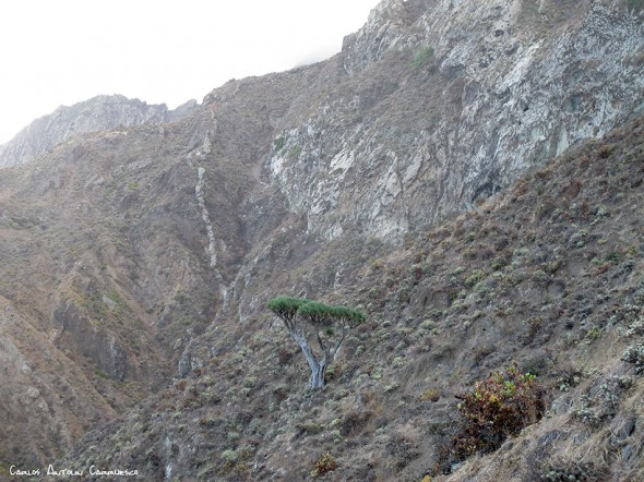 Anaga - Tenerife - drago