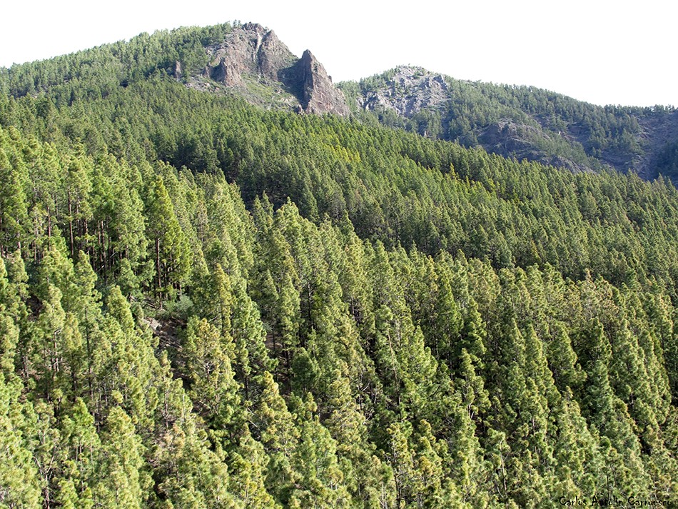 Caldera de Pedro Gil - Corona forestal - Tenerife